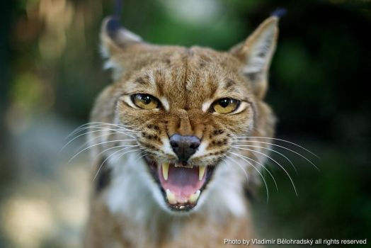 Angry lynx by Wild-Lweek