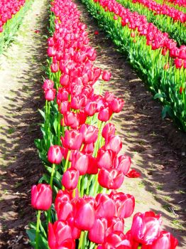 Tulip Rows by ecaepgraphix