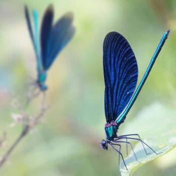 composition with damselflies by Floriandra