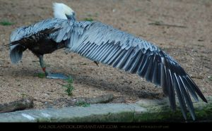 Pelican Wingstretch 1 by SalsolaStock