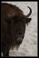 Wisent by McFossey