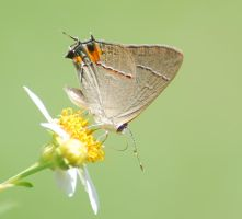 Hairstreak on Flower Closeup by Larah88