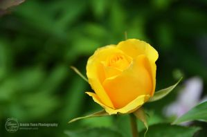 Yellow Rose by sweetcivic