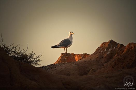 Portuguese Gull II by TheRenART