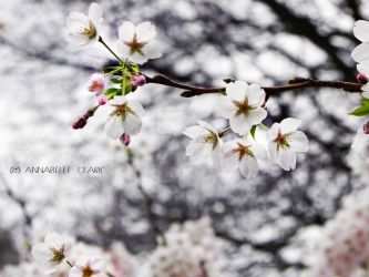 Small white cherry blossom by Pandannabelle