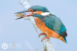 Female Kingfisher with young Perch by Neutron2K