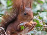 Proud Mr  Red Squirrel by Momotte2