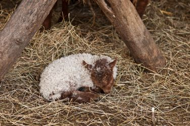 Sleeping little lamb by PeterTakacs