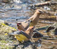 Cedar waxwings 002 by Elluka-brendmer