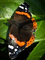Red Admiral by Iris-cup