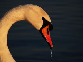 swan by gilead