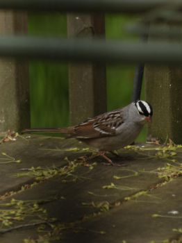 White-crowned Sparrow by LadyLyonnesse