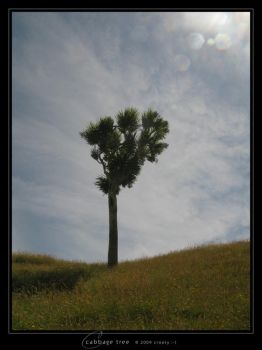 Cabbage Tree by Crooty