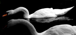 swan.:o2.2 by steeerne