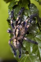 Poecilotheria metallica female by Maikaraaion