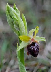 Early spider-orchid by rajaced