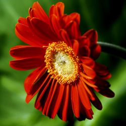 Flower 7_Gerbera Daisy- Stock by Inadesign-Stock