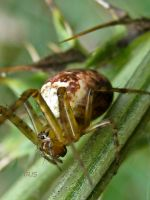 Orb Spider by Iris-cup
