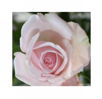 delicate rose by GLO-HE