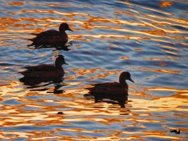 Colourful Ripple Ducks by wolfwings1