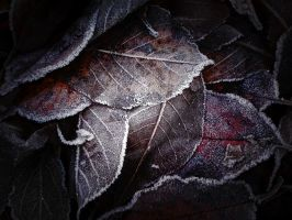 frosty leaves by edinaB