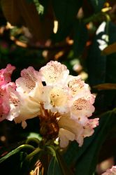 Rhododendron II by tnhop