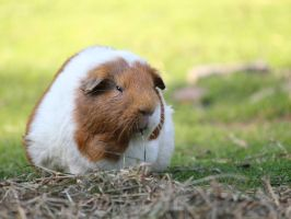 Guinea pig by Agamerswork