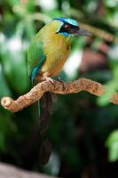 Blue-crowned Motmot by CharlesWb
