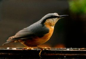 Nuthatch Is Back by Tinap