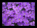 Violet Flowers by Suffle