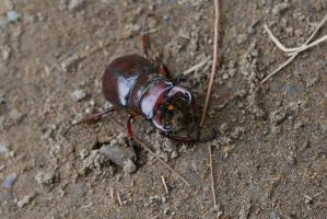 Stag Beetle by BlackRoomPhoto