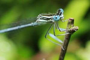Damselfly 4 by thisable