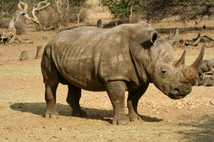 South African Rhino by gerryray