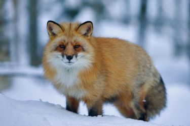 Northern Red Fox by Mateuszkowalski