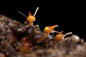 Nasuti soldiers termites on lookout by melvynyeo