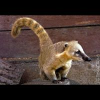 Animals 94  Ring-tailed Coati by cinnabarr
