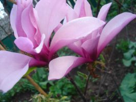 MAGNOLIE by janin81