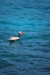 brown pelican 6.4 by meihua-stock