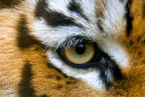 Eye of the tiger by brijome