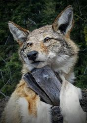 Head Only coyote mount by AdarkerNEMISIS