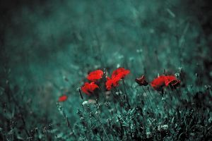 poppies are red by hypertech
