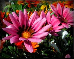 Lovely Pink Flowers by JocelyneR
