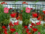 Roof Garden Poppies With Bumble Bee In Flight by aegiandyad