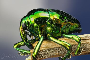 Very cool weevil by otas32