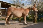 Conformation - Heavy Draft Horse Mare by LuDa-Stock