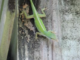 Green Anole by Kouuji