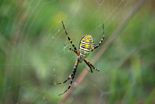 The Banded Garden Spider by bmxer197