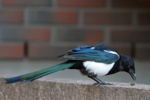 Concentrating Magpie by TomiTapio