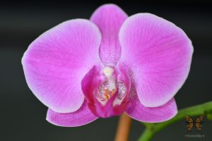 Orchid by VerenSky