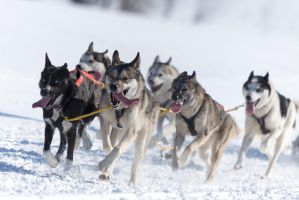 sled dog racing by Andr345R